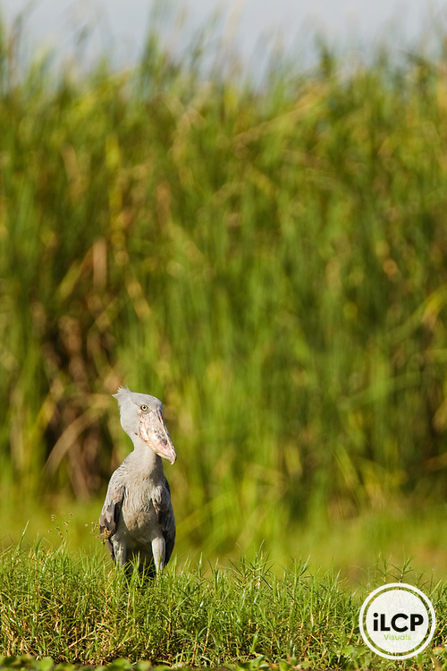 Shoebill (Balaeniceps rex) on swamp edge, Lake Albert, Toro-Semliki Wildlife Reserve, Western Rift Valley, Great Rift Valley, western Uganda