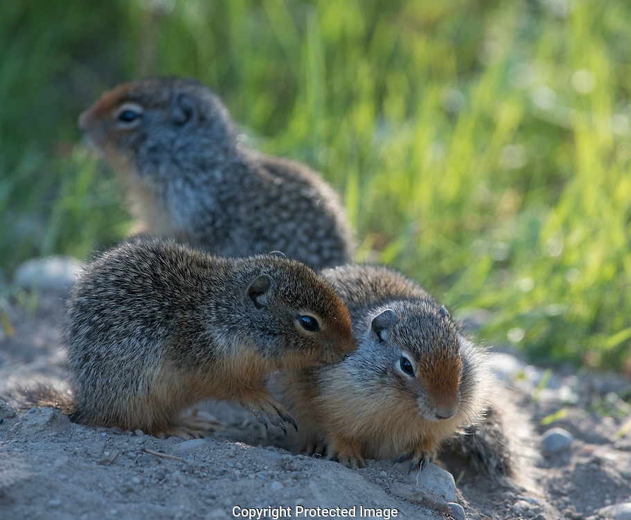 Columbian Ground Squirrel. (Urocitellus columbianus), Alberta, Canada, Isobel Springett