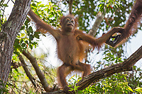 A Bornean orangutan baby (Pongo pygmaeus) in the tree canopy in Tanjung Puting National Park, Borneo, Indonesia.