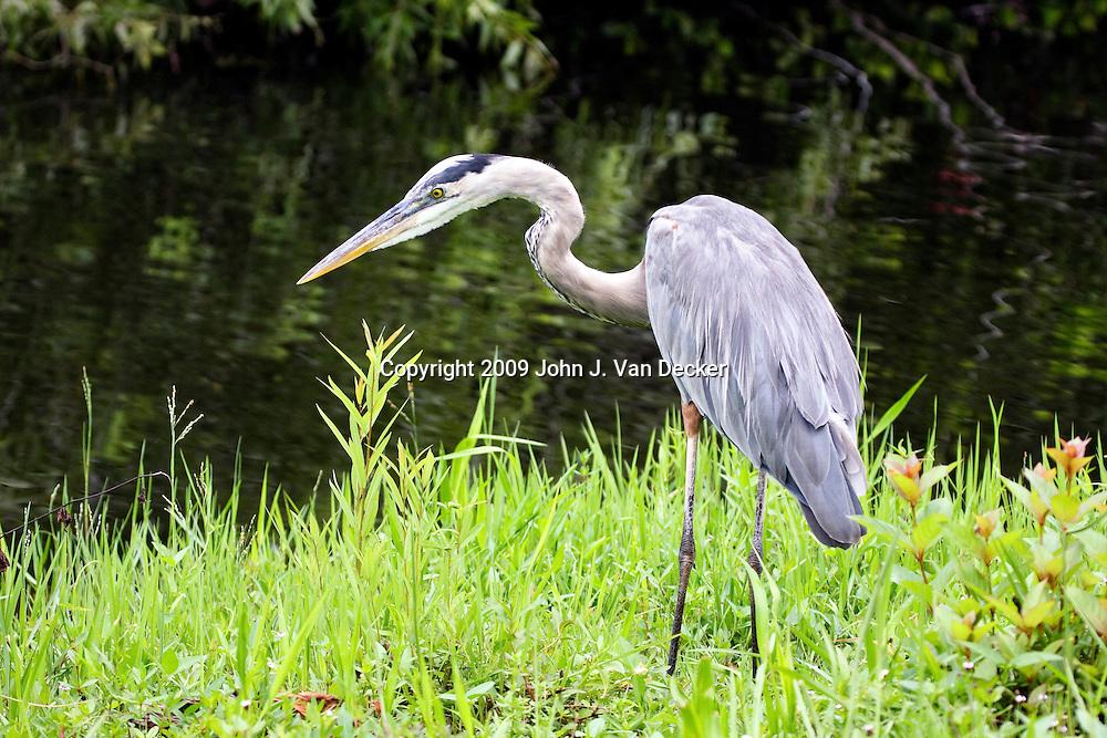 Great Blue Heron, Everglades Florida