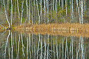 White birch (Betula papyrifera) trees reflected in Long Lake<br />