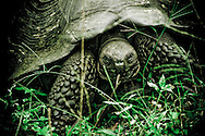Giant tortoise approaches, Galapagos Islands.