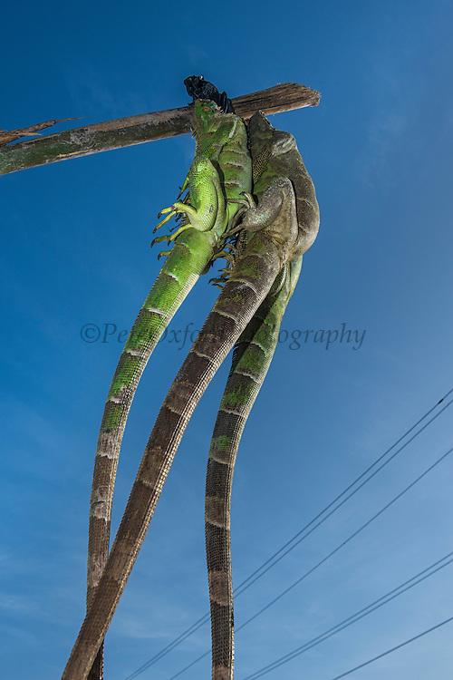 Live iguanas for food (Iguana iguana)<br /> Georgetown<br /> GUYANA<br /> South America