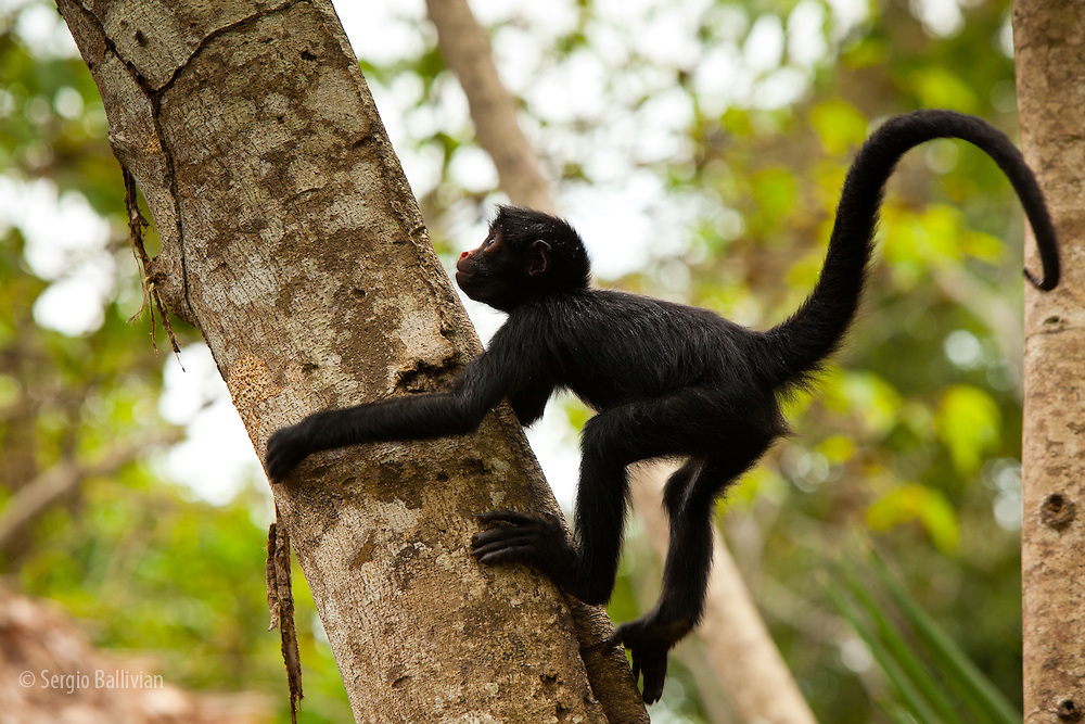 A baby Peruvian Spider Monkey (Ateles chamek) climbs a tree while playing around in Tambopata NP, in the Peruvian Amazon.