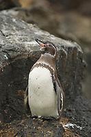 Galapagos Penguin (Sphensicus mendiculus)<br />Bartolome Island, Galapagos Islands.