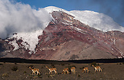 Vicuña with Chimborazo Volcano behind<br /> Vicugna vicugna<br /> Chimborazo Reserve. Southern Andes. ECUADOR.  South America<br /> Re-introduced 270 animals in 1988 and by 2003 there were 2800