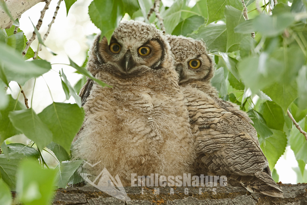 Great Horned Owlets huddle together on a branch.