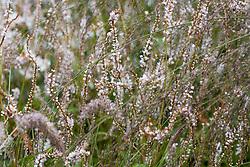 Gaura lindheimeri with Persicaria amplexicaulis 'Alba' and Molinia caerulea subsp. arundinacea 'Transparent'