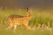 European Hare (Lepus europaeus) adult running along field margin, South Norfolk, UK. May