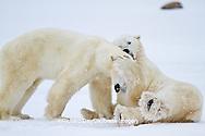 01874-12606 Two Polar bears (Ursus maritimus) sparring in winter, Churchill Wildlife Management Area, Churchill, MB Canada
