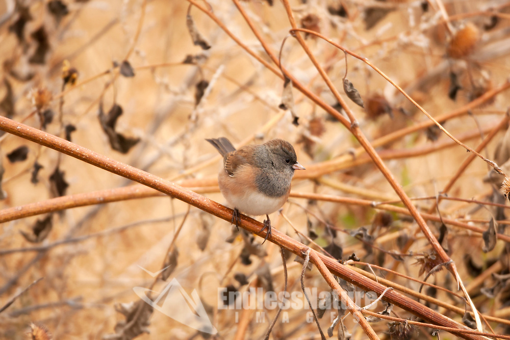 A Dark Eyed Junco enjoys what is left of last years wild sunflowers.
