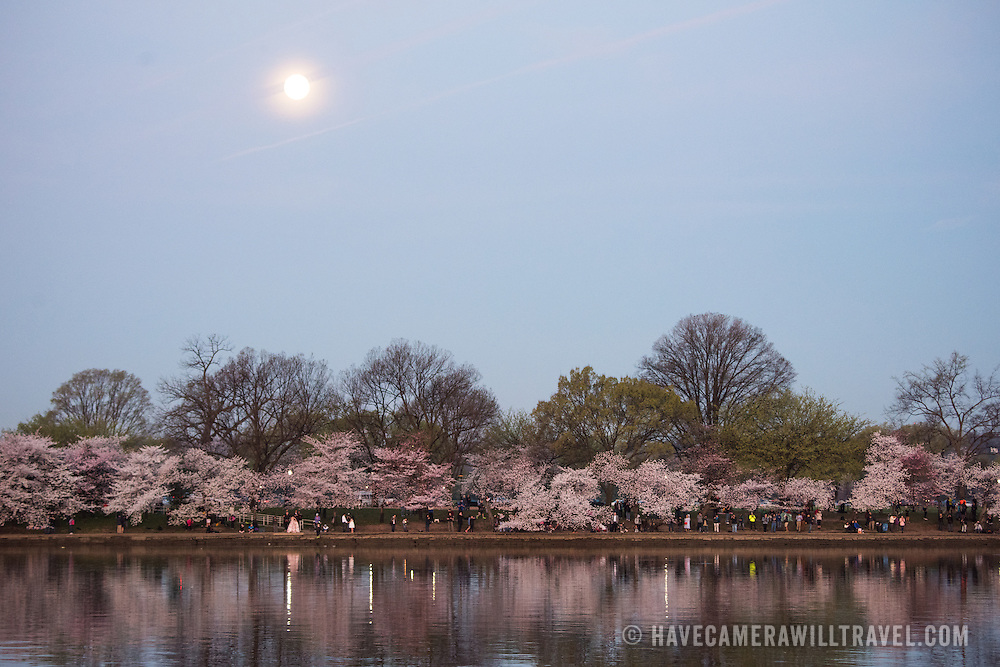 WASHINGTON DC--The full moon sets right around sunrise over Washington DC's famous cherry blossoms, and gift from Japan in 1912, in full bloom around the Tidal Basin. The peak bloom each year draws hundreds of thousands of tourists to Washington DC each spring.
