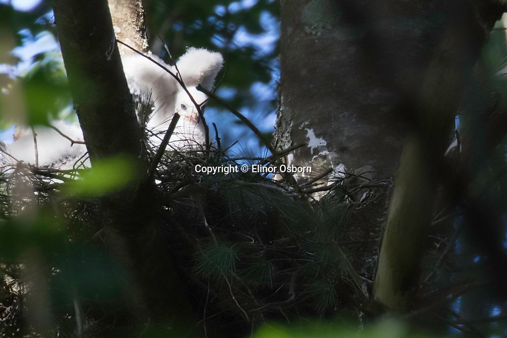 Northern Goshawk nestling