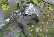 An arboreal lizard known as a Green iguana rests in a tree.