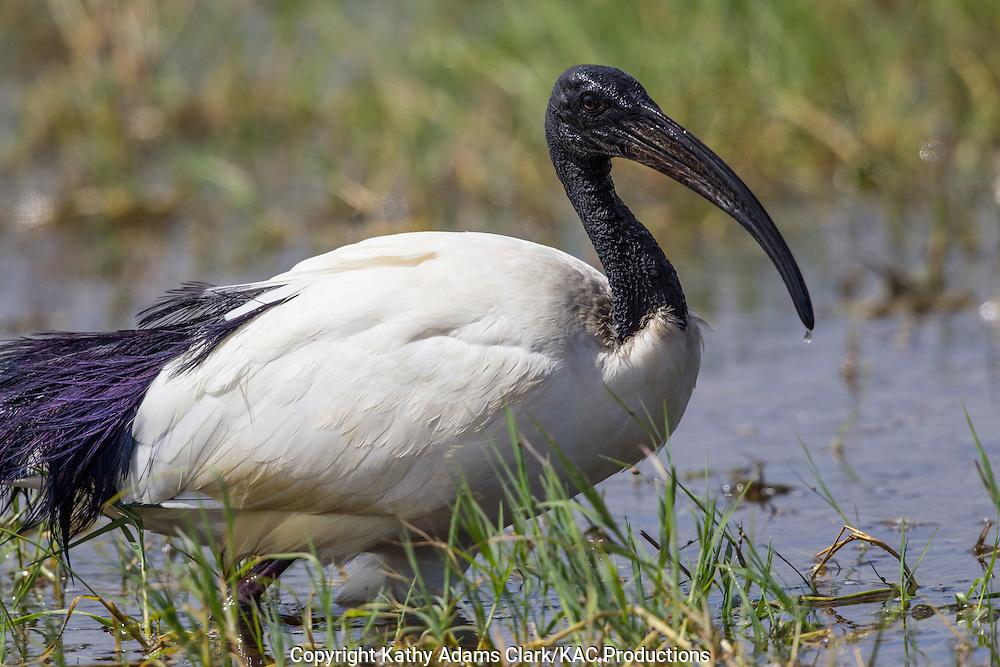 Sacred Ibis; Threskiornis aethiopicus, Ngorongoro creater, Ngorongoro Conservation Area, Tanzania, Africa.