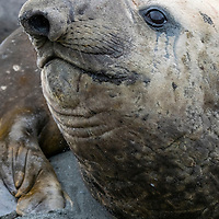 Portrait of a male elephant seal on the beach at Gold Harbour on the north coast of South Georgia Island.
