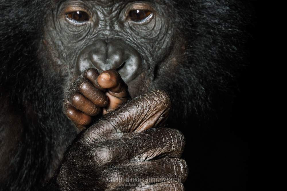 Bonobo (Pan paniscus).Bonobo mother considers attentively hand of her little babie. In the first months of life, the young clings firmly to the fur of the mother, later it riding on their back. Weaning occurs around the age of four years; only after five years, the bonobo females give birth again....Bonobo (Pan paniscus).Bonobo-Mutter betrachtet die kleine Hand ihres Babys. In den ersten Lebensmonaten klammert sich das Jungtier am Fell der Mutter fest, später reitet es auf ihrem Rücken. Die Entwöhnung erfolgt im Alter von ungefähr vier Jahren; erst nach fünf Jahren kann das Bonobo-Weibchen erneut gebären..