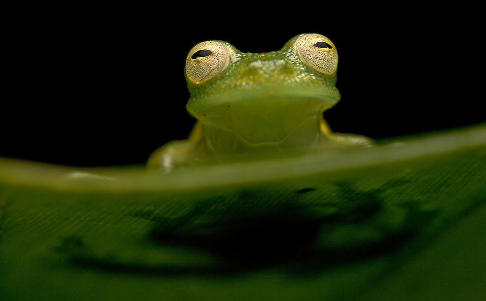 Giant glass frog, Centrolene grandisonae, in Choco, Colombia