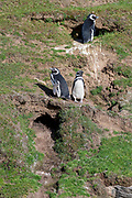 Breeding magellanic penguins (Sphreniscus magellanicus) outside their burrows at Saunders Island, the Falkland Islands.