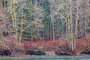 The Skagit River flows past deciduous trees covered with moss and lichen in the North Cascades of Washington state near the town of Rockport.