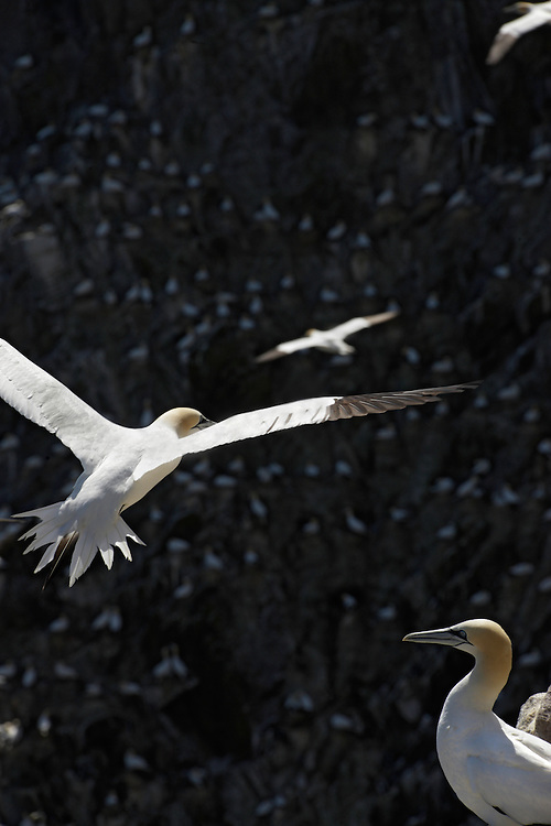 Gannets ( Sula bassana) colony Ireland Saltee Islands