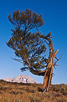 The Old Patriarch Tree and Mount Moran.  Grand Teton National Park, Wyoming, USA.