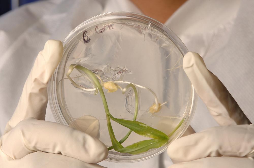 Corn plant growing in petri dish