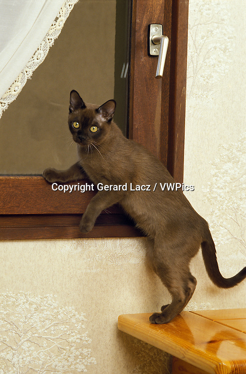 Chocolate Burmese Domestic Cat, Kittens against Black Background
