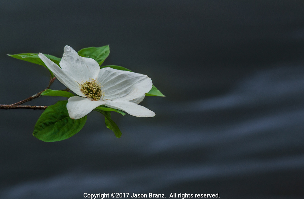 Abstract view of a dogwood blossom over the flowing waters of the Merced River, Yosemite National Park, California.