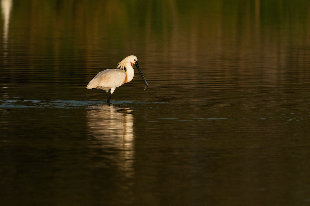 Spoonbill (Platalea leucorodia)<br /> Wetland Reserve<br /> Do&ntilde;ana National &amp; Natural Park. Huelva Province, Andalusia. SPAIN<br /> 1969 - Set up as a National Park<br /> 1981 - Biosphere Reserve<br /> 1982 - Wetland of International Importance, Ramsar<br /> 1985 - Special Protection Area for Birds<br /> 1994 - World Heritage Site, UNESCO.<br /> The marshlands in particular are a very important area for the migration, breeding and wintering of European and African birds. It is also an area of old cultures, traditions and human uses - most of which are still in existance.