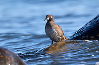 Harlequin Duck (Histrionicus histrionicus) female 1on rock at Cambell River, Vancouver Island, Canada   Photo: Peter Llewellyn