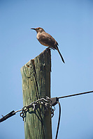 Curve-billed Thrasher (Toxostoma curvirostre) perched on a telegraph post, Jocotopec, Jalisco, Mexico