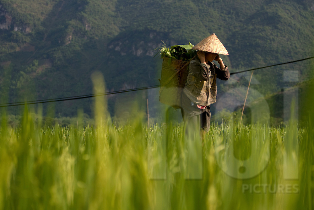 A vietnamese farmer crosses a rice field, Central Vietnam, Southeast Asia