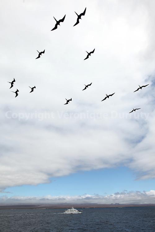 Flying Magnificent frigatebird