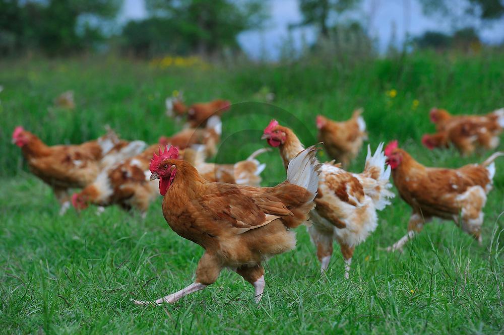 13/05/14 - SAINT PRIEST EN MURAT - ALLIER - FRANCE - Elevage en plein air de poulets fermiers de Mme Ferrandon - Photo Jerome CHABANNE