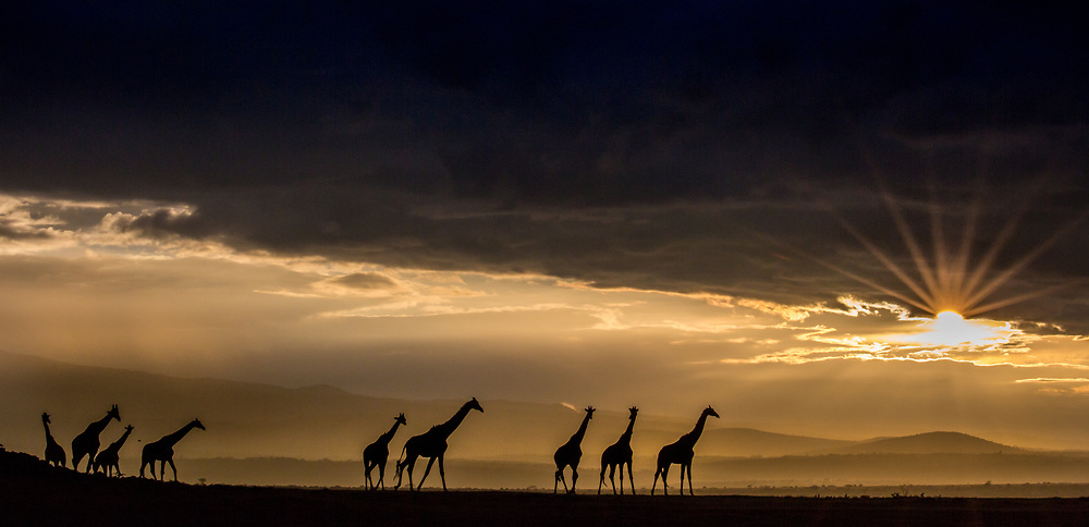 Reticulated Giraffes silhouetted as the sun pokes below a layer of clouds at sunset