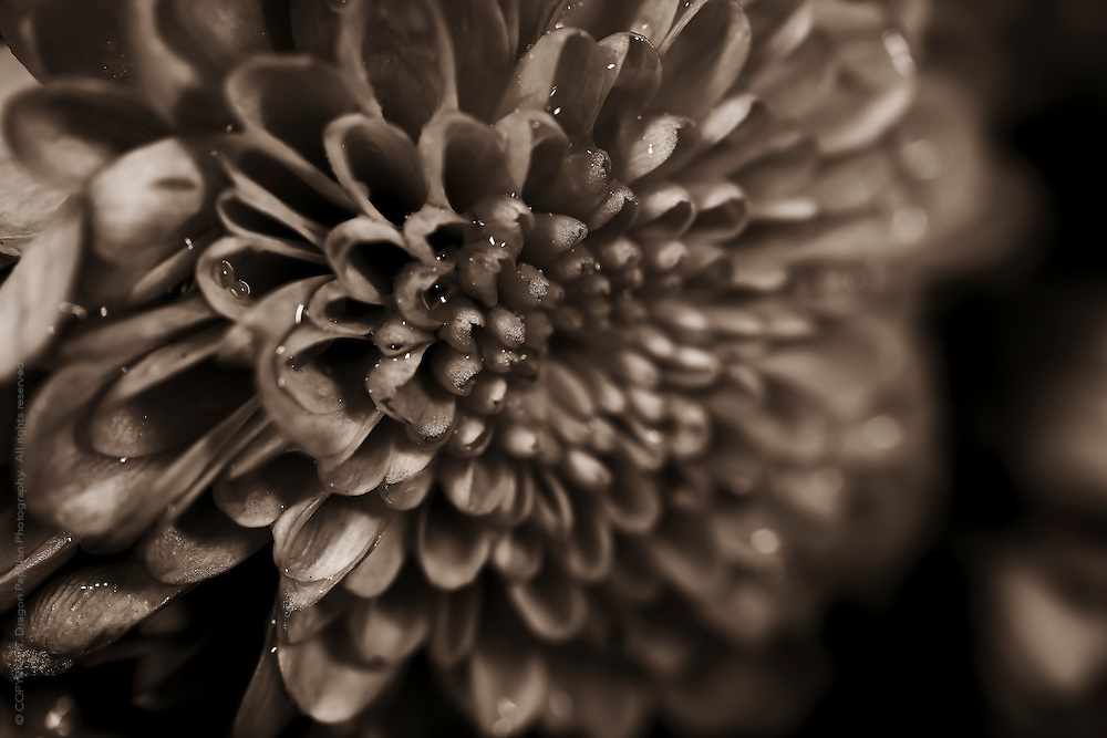 macro photography: flower centre with rain drops in dark sepia tones