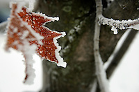 JEROME A. POLLOS/Press..Frost clings to a leaf Friday following an overnight freeze.