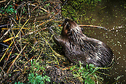 An american beaver (Castor canadensis) working on a dam at night in the Mount Hood National Forest, Oregon. Photographed with a motion sensing camera.