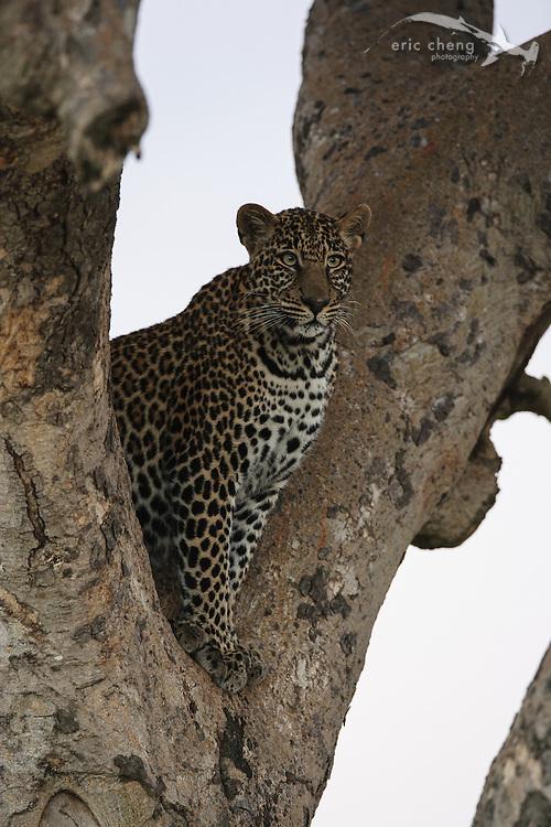 Leopard (Panthera pardus) in a tree! Serengeti, Tanzania.