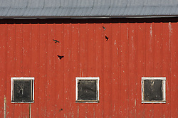 Birds fly into their nest in a barn in the Palouse area, Washington.