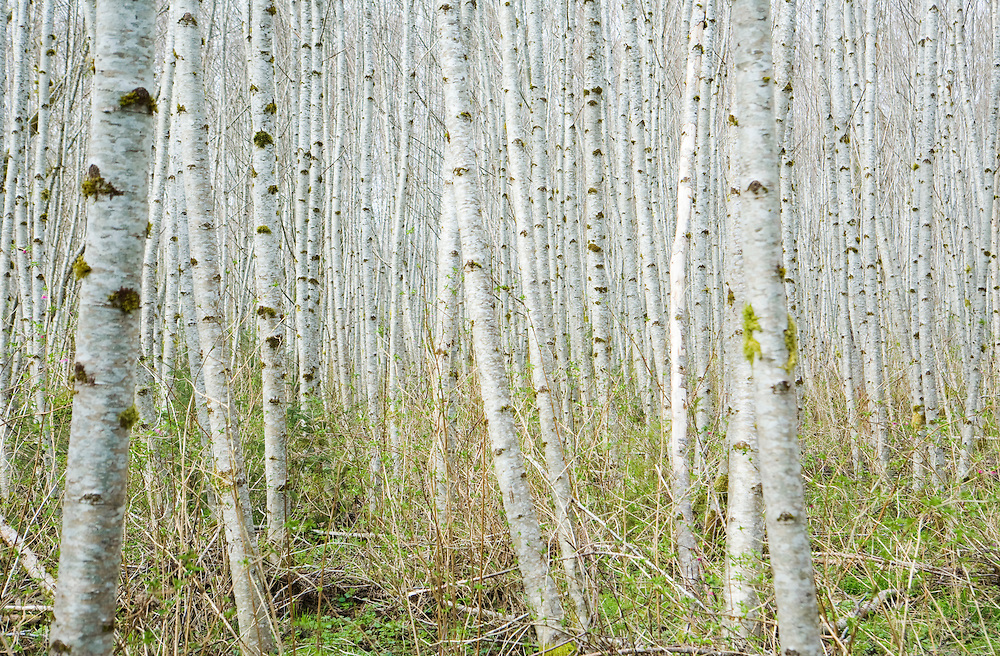"""Thick"" - Fine Art Limited Edition Print. 20 in color. A forest of Birch Trees near Forks, Washington."