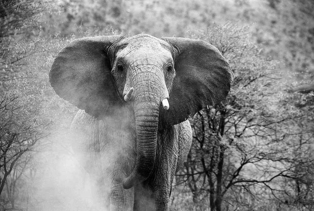 African bull elephant about to charge