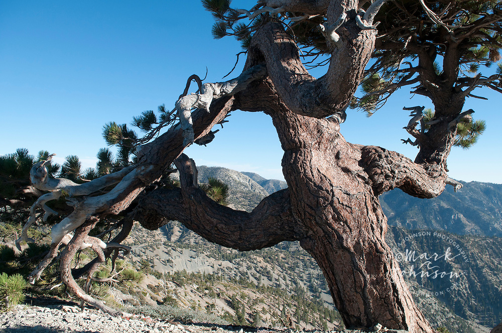 Jeffrey Pine, (Pinus jeffreyi), Mount San Antonio, (Mt. Baldy), San Gabriel Mountains, Los Angeles County, S. California, USA