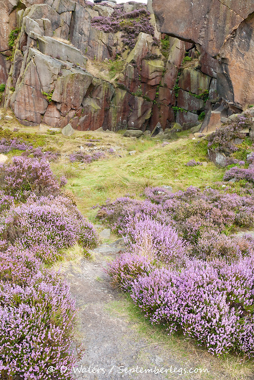 Derbyshire, UK - Aug 2015: Pathway through pink flowering heather to a colourful cliff face on 24 Aug at Burbage South Edge, Peak District