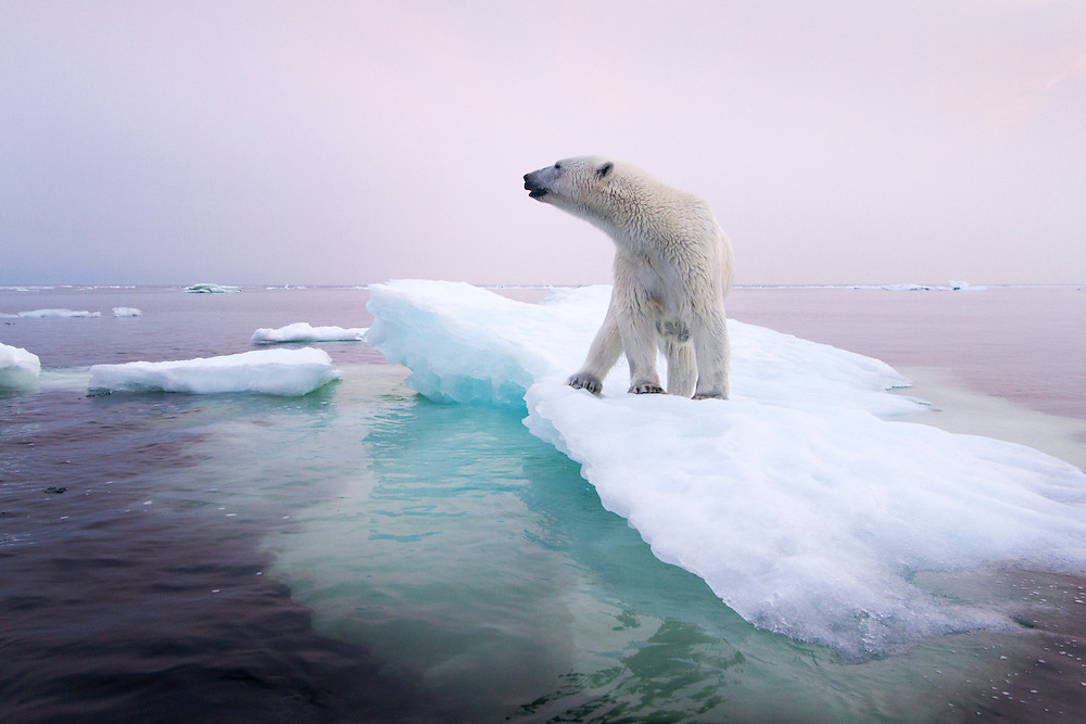 Canada, Manitoba, Churchill, Polar Bear (Ursus maritimus) standing on melting ice floe on summer evening