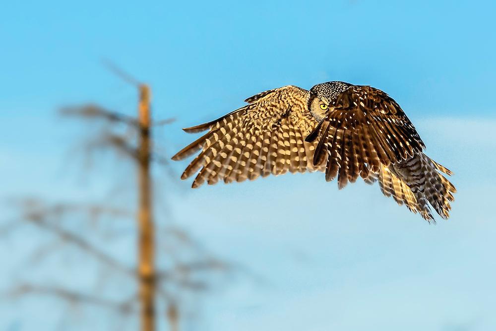 "Northern Hawk Owl in flight ""Peek-a-boo"""