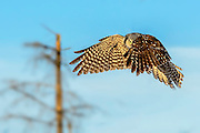 "Northern Hawk Owl in flight ""Peek-a-boo"""