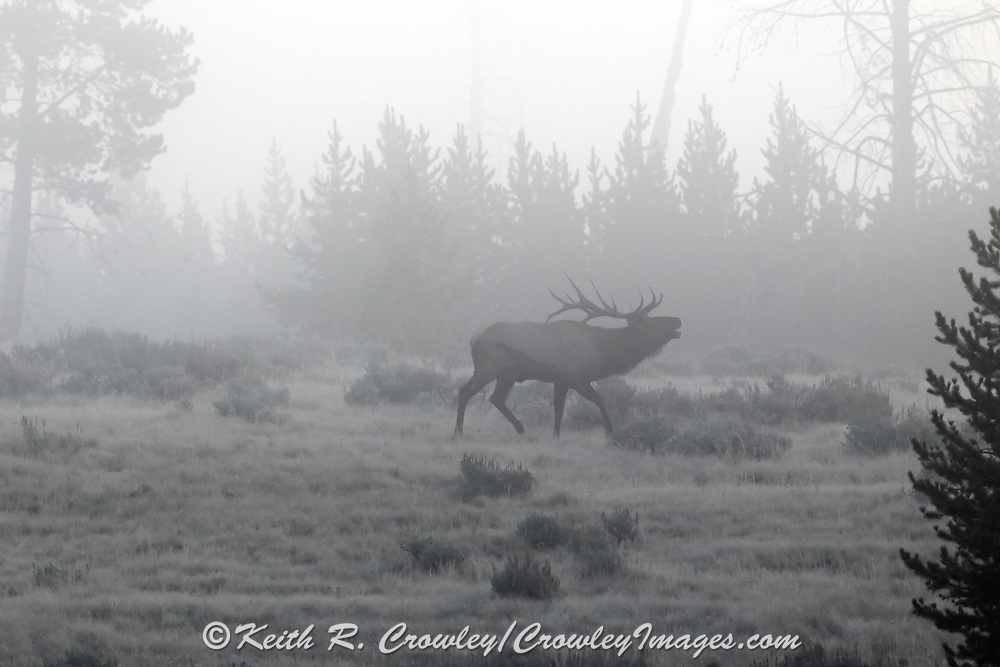 A bull elk bugles in the early morning mist.