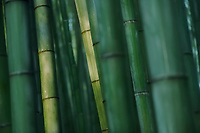 Beautiful Bamboo forest in deep green colors lit by morning light, abstract culms of bamboos in Arashiyama, Kyoto, Japan.
